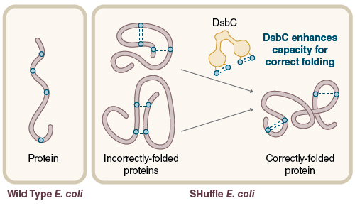 Figure 3: Disulfide bond formation in the cytoplasm of wild type E. coli is not favorable, while SHuffle is capable of correctly folding proteins with multiple disulfide bonds in the cytoplasm.
