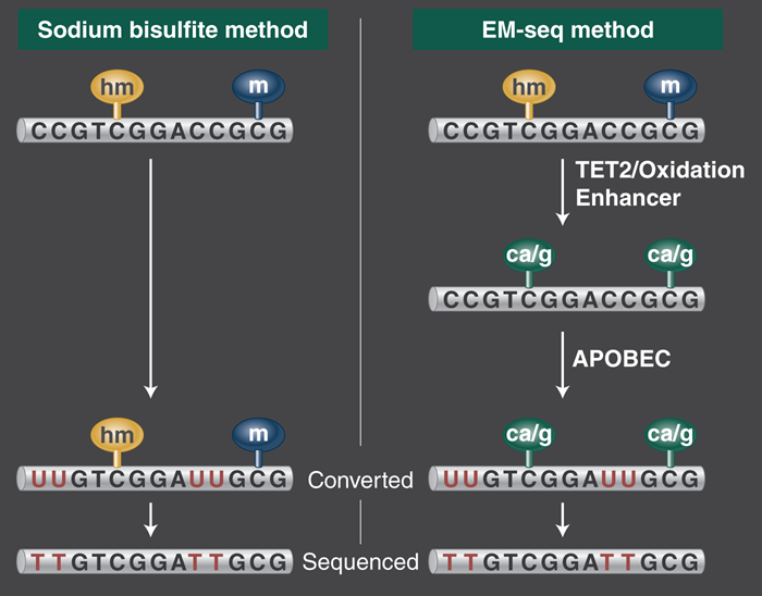 WGBS, Whole Genome Bisulfite SequencingMethylome, 5mC, Bisulfite-seq EM-seq